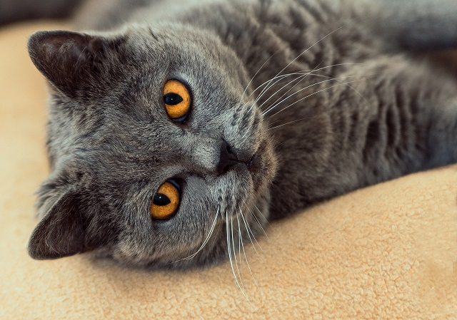 hamuszürke-macska-1
