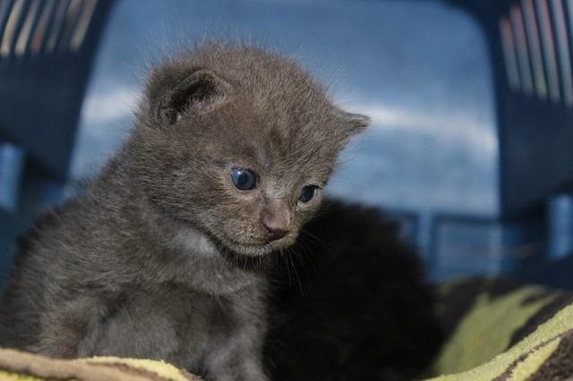 hamuszürke-macska-4