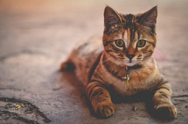 macska-szobatisztaságra-szoktatása-1
