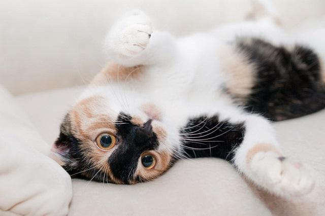 nőstény-macska-tüzelése-1