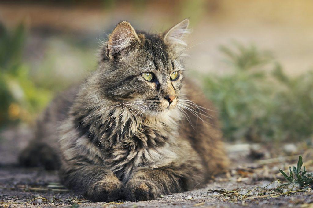 nőstény macska viselkedése ivartalanítás után