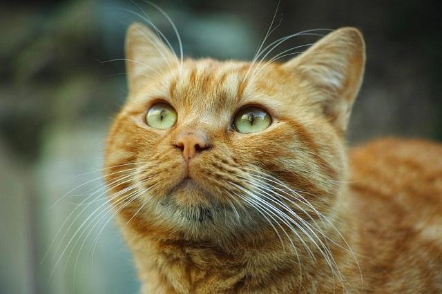 vörös-cirmos-macska-3