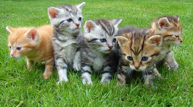 vörös cirmos macska