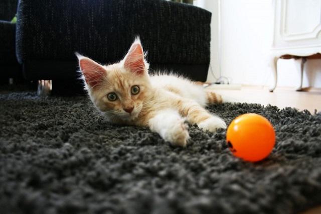 vörös-cirmos-macska-7