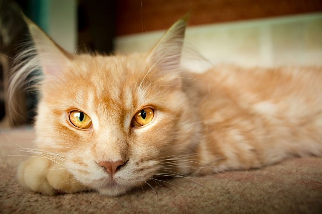 vörös-cirmos-macska-8