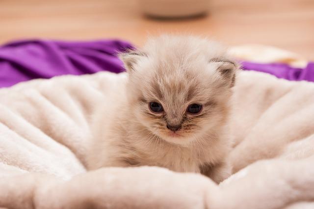 újszülött macska nemének megállapítása