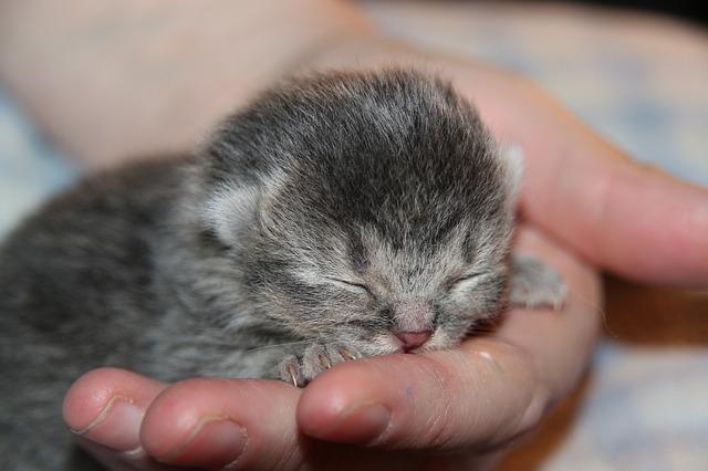 Újszülött macska nemének megállapítása 5