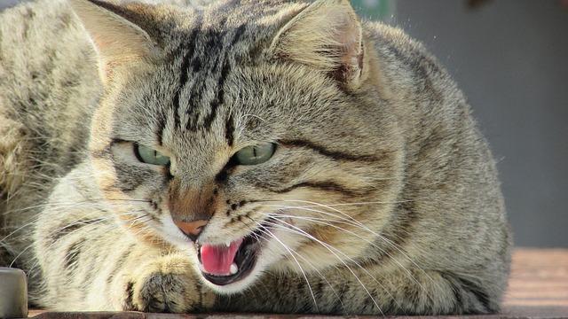 agresszív macska nevelése