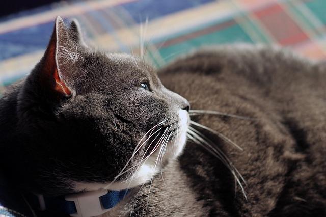 kövér macska lefogyasztása 2
