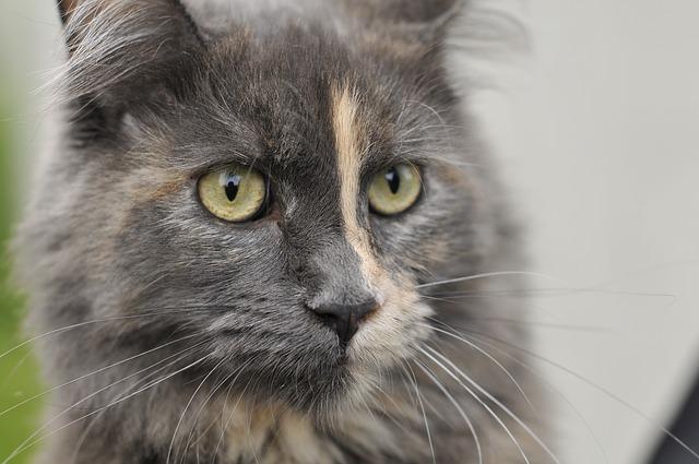 Kandúr macska viselkedése ivartalanítás után