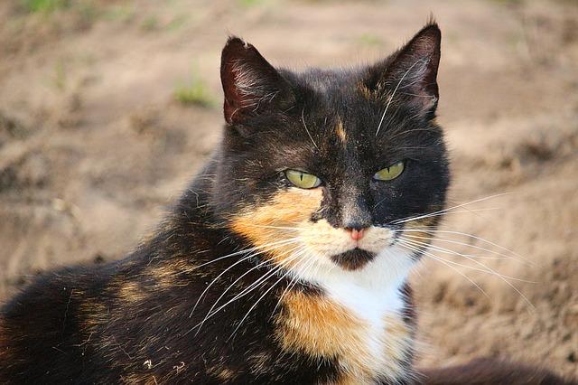 teknőctarka macska tulajdonságai 2