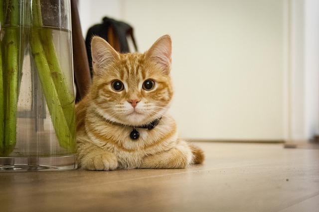 aszpikos macskaeledel