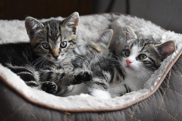 Hány kölyke lehet egy macskának