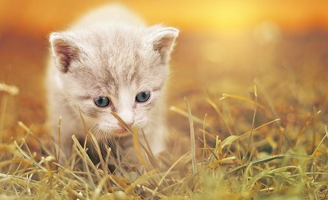 Hányszor ellik a macska egy évben