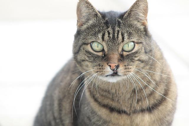 macska-tályog-kezelése-házilag