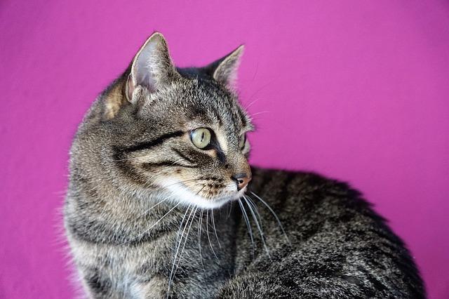 macska-tályog-kezelése-otthon-2