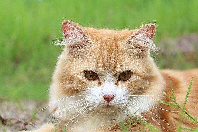 2-milyen-érzéseket-tud-kifejezni-a-macska-a-fülével