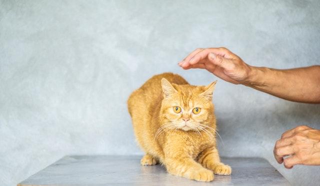 Miért dagaszt a macska?