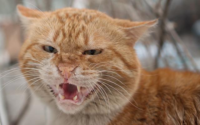 milyen-érzéseket-tud-kifejezni-a-macska-a-fülével-4