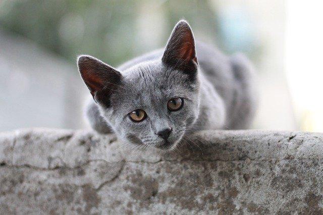 milyen-érzéseket-tud-kifejezni-a-macska-a-fülével