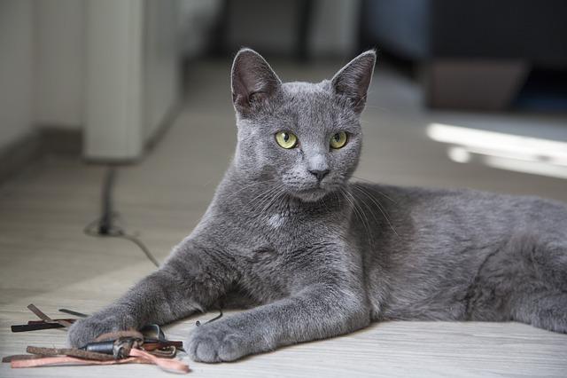 orosz-kék-macska-jellemzői-