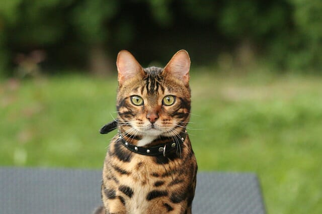 bengáli-macska-jellemzői-
