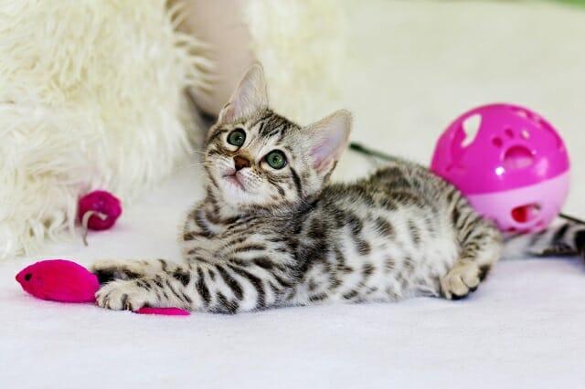 Egyiptomi-mau-macska-kölyök