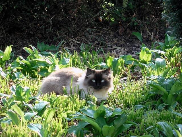 hány-éves-koráig-tüzel-a-macska