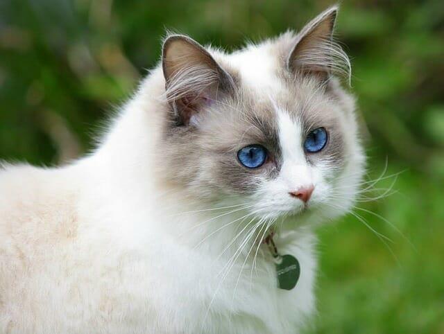ragdoll-cica-jellemzői-
