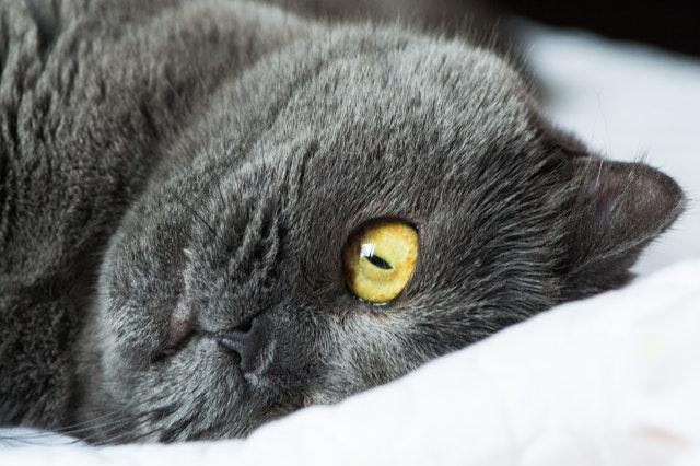 brit-rövidszőrű-macska-betegségei