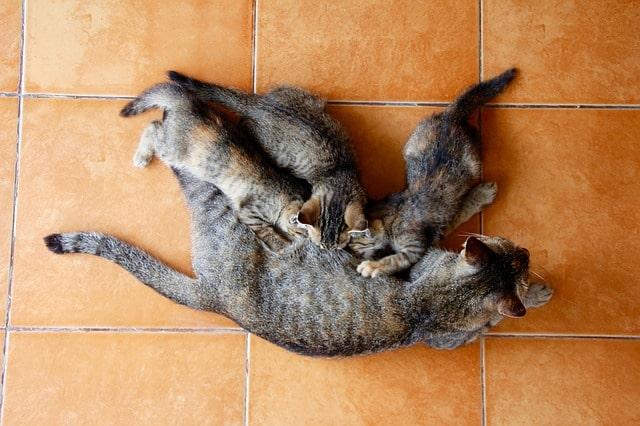meddig-szoptat-a-macska