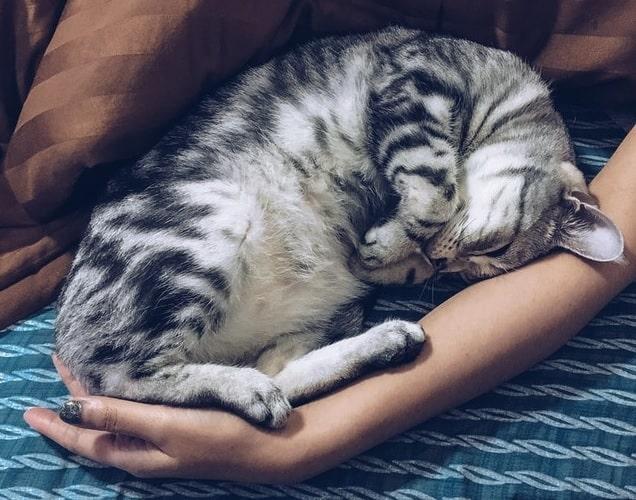 meddig-vajúdik-a-macska