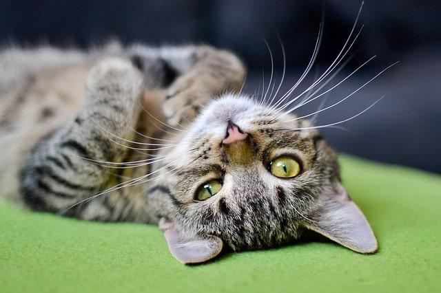 mit-tegyek-ha-bolhás-a-macskám