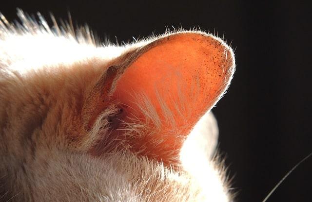 macska-rázza-a-fejét-vakarja-a-fülét