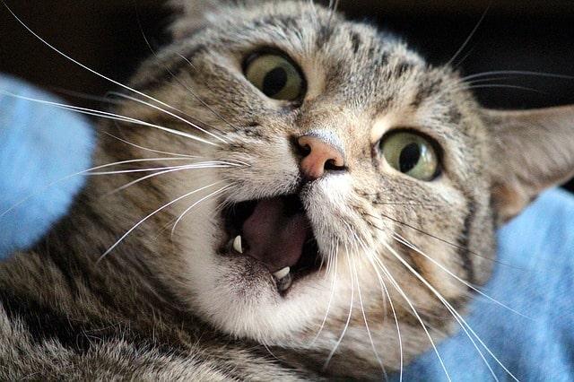 macska-fogváltás-tünetei