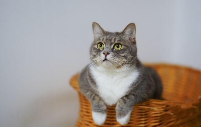 mennyibe-kerül-a-macska-oltása