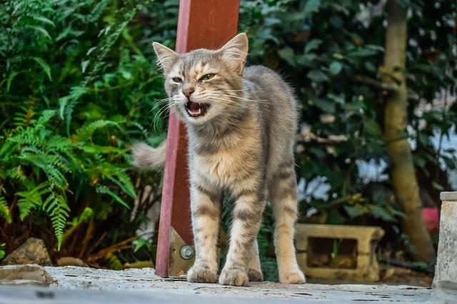 nem-tud-nyávogni-a-macska