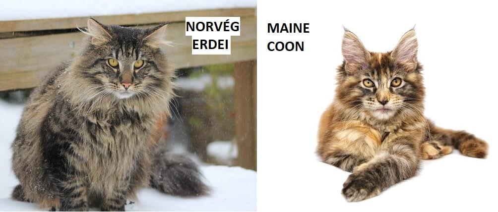 norvég-erdei-macska-és-maine-coon-különbség