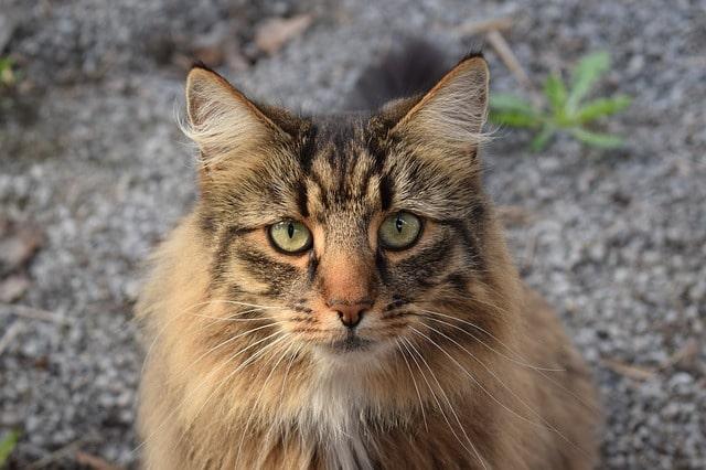 norvég-erdei-macska