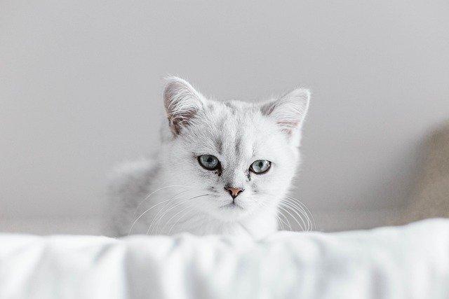 fehér-világos-fülű-cica