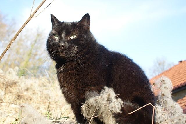 vad-cica-megszeliditése