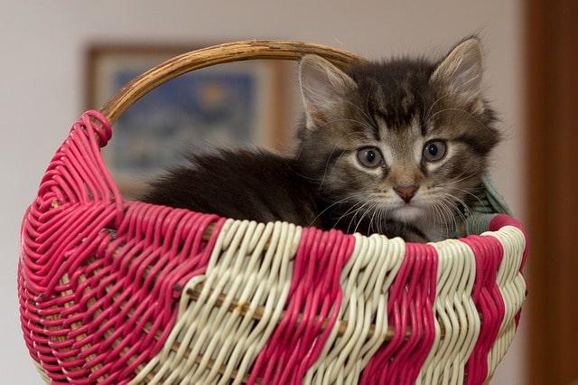 Mikortól-lehet-szilárd-ételt-adni-a-cicának