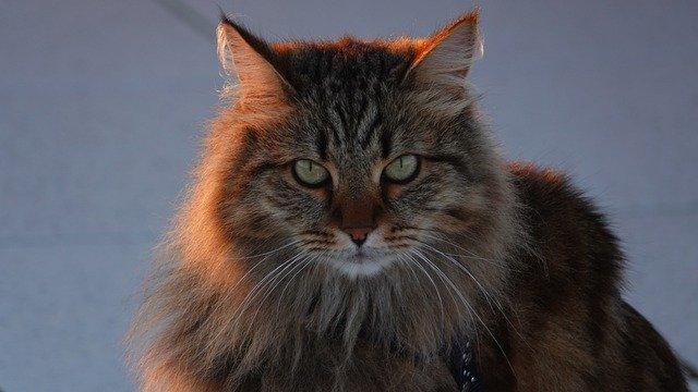 szibériai-macska-1
